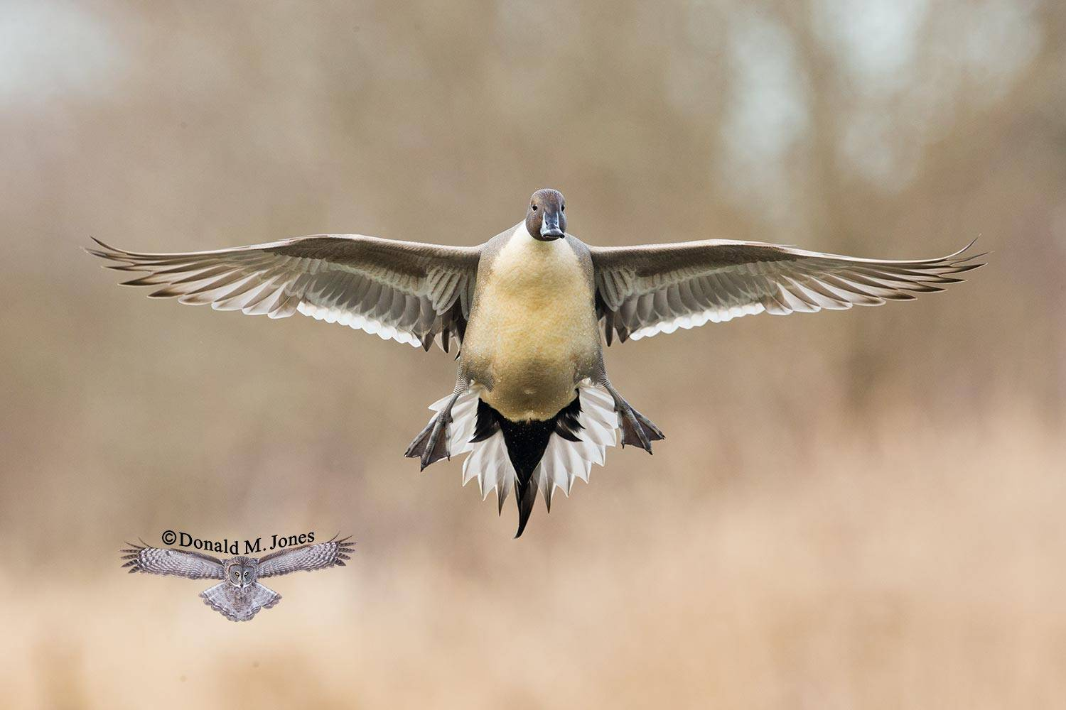 Northern-Pintail1818D
