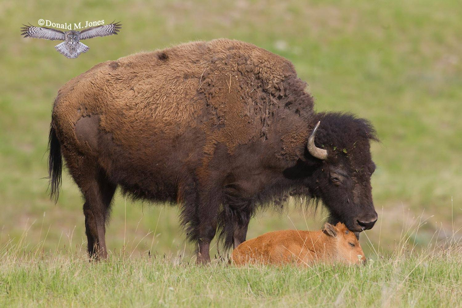 American-Bison01653D