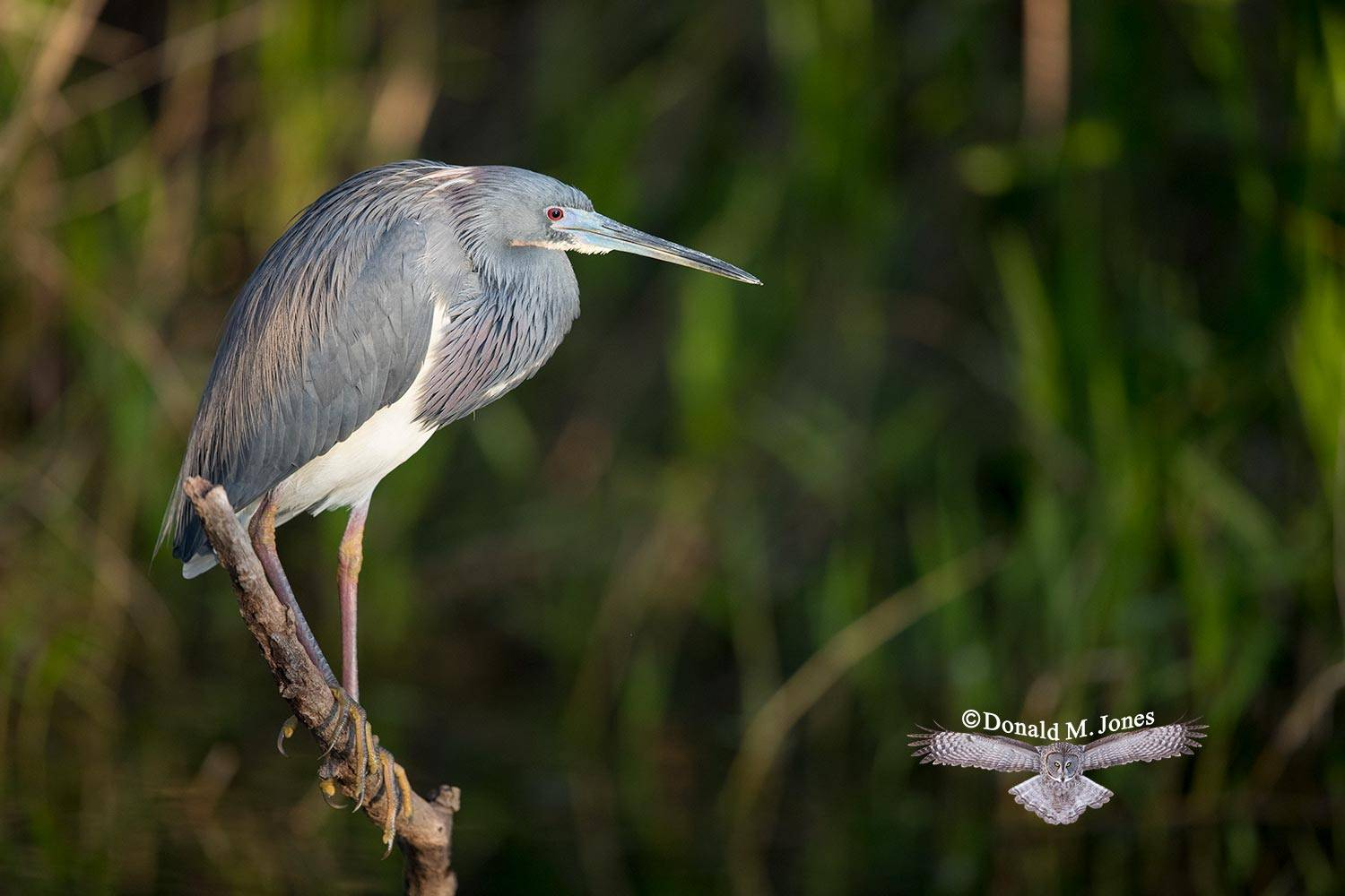 Tricolored-Heron0147D