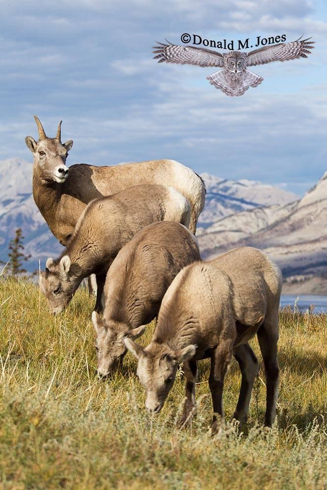 Bighorn-Sheep05123D
