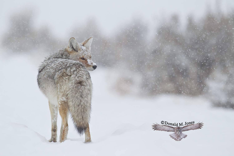 Coyote02064D
