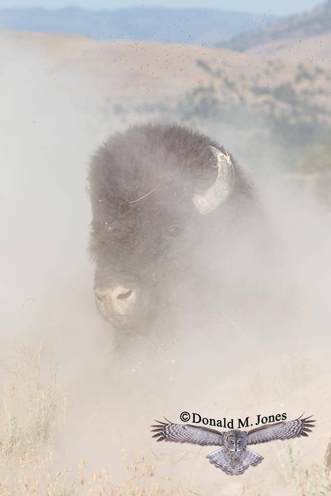 American-Bison02628D