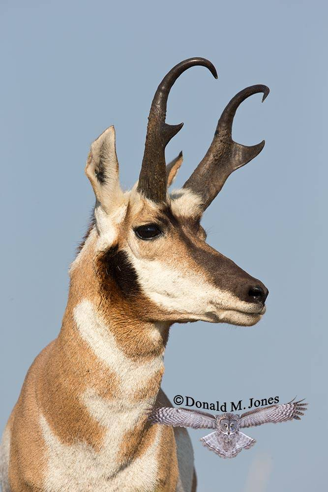 Pronghorn-Antelope04131D