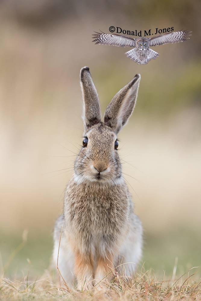Mountain-Cottontail0221D