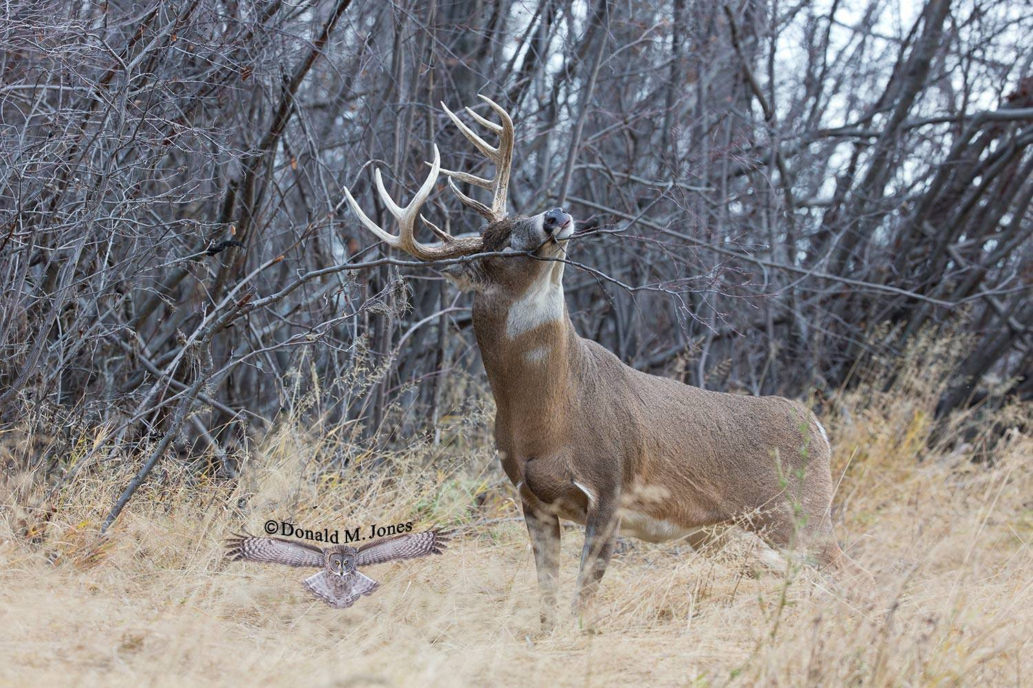Whitetail-Deer48851D