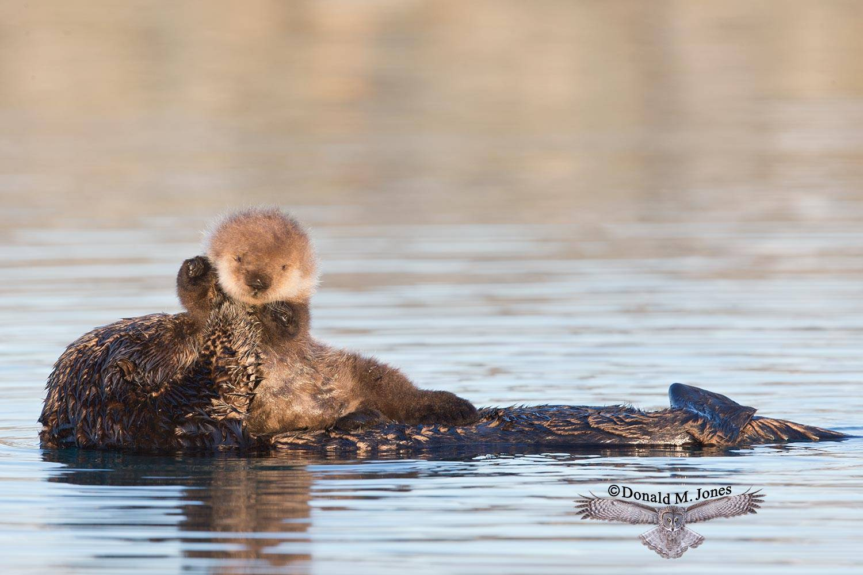 Sea-Otter0595D