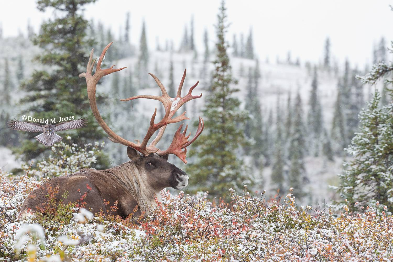 Barren-Ground-Caribou03651D