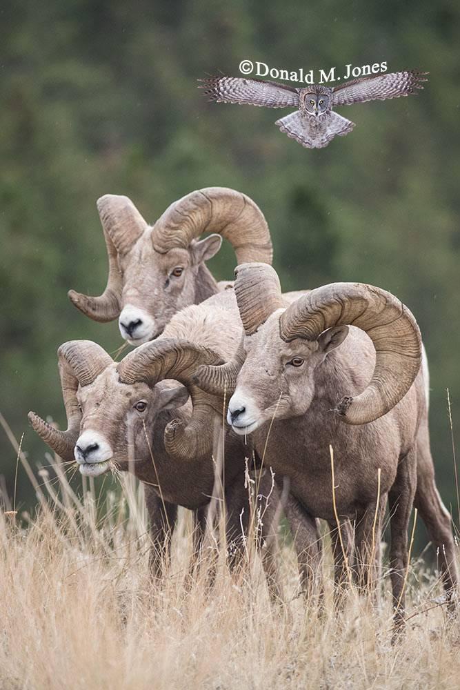 Bighorn Sheep trio