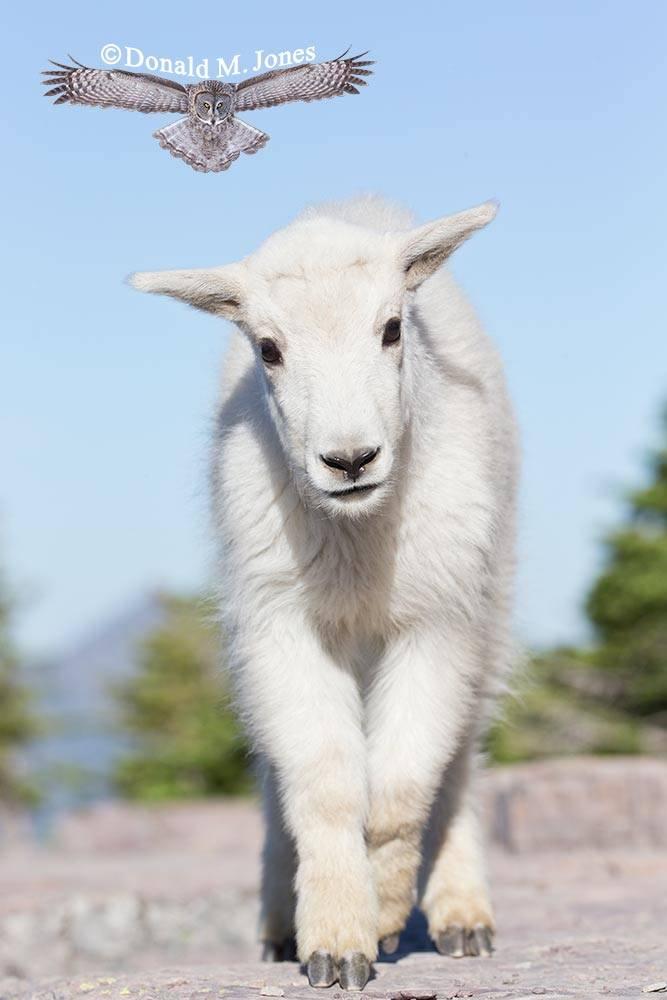 Mountain-Goat02765D