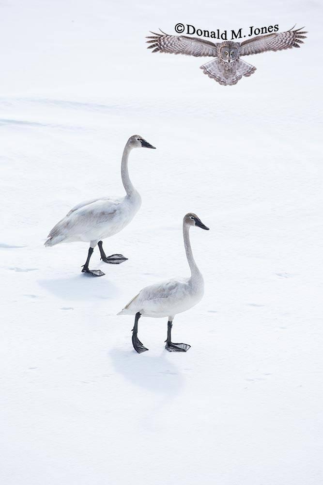Trumpeter-Swan0400D