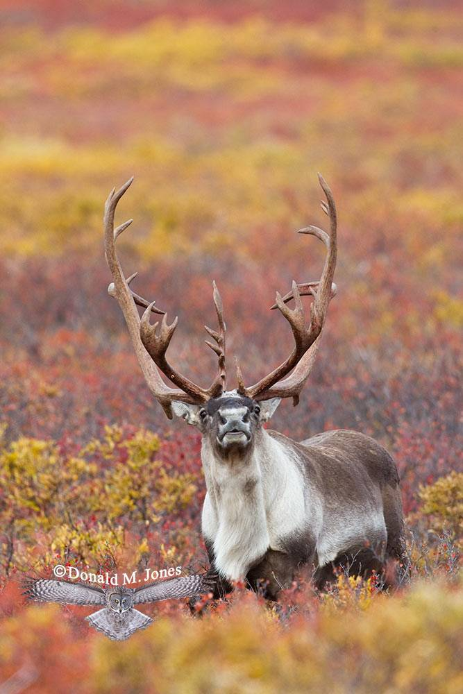 Barren-Ground-Caribou02416D.jpg