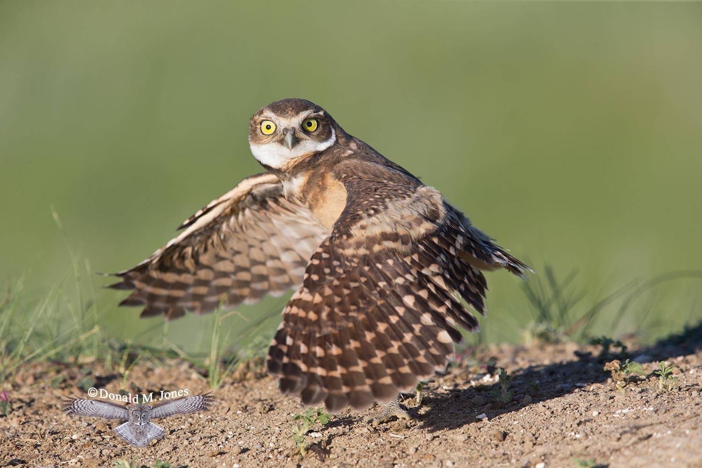 Burrowing-Owl0640D