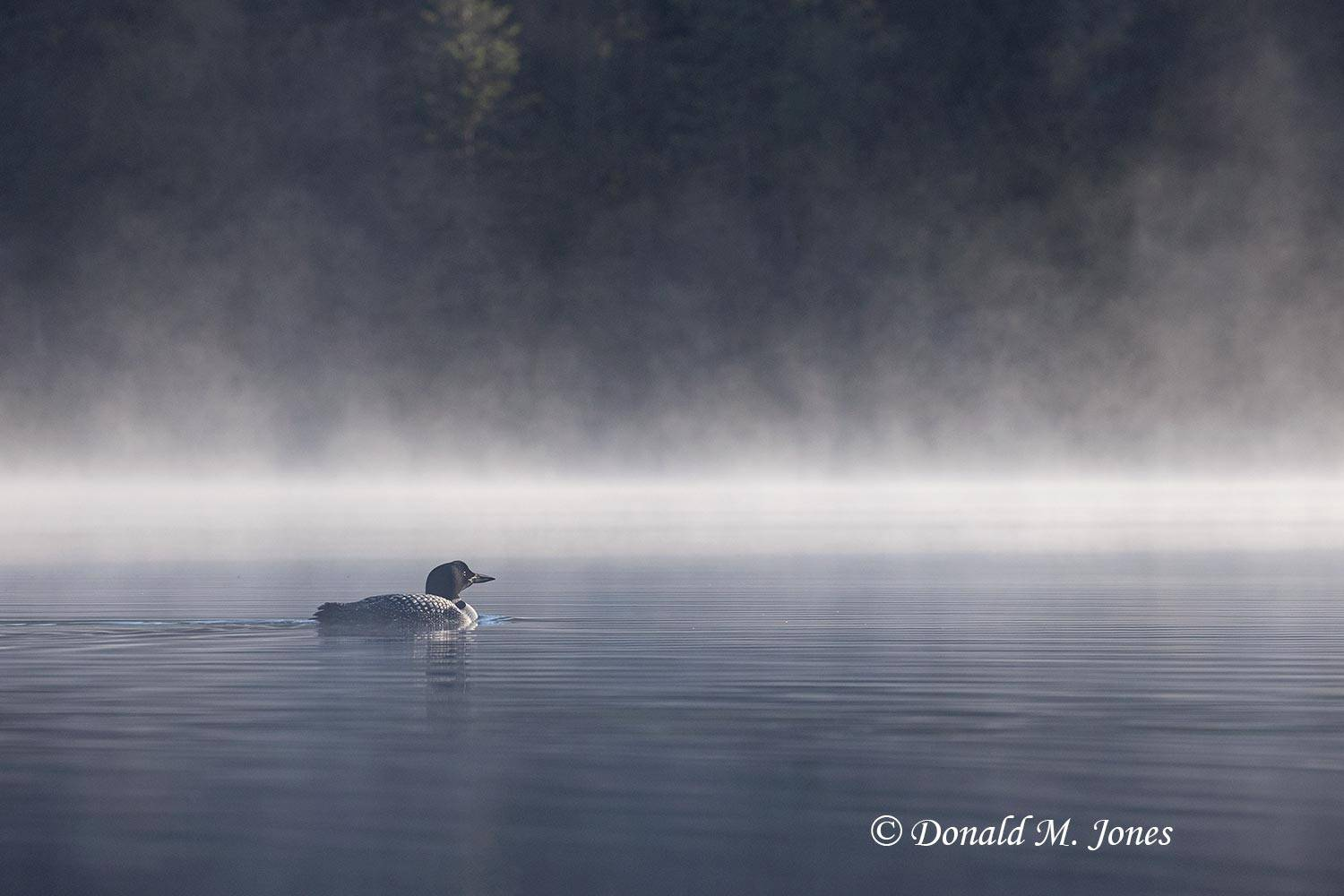 Common-Loon2282D