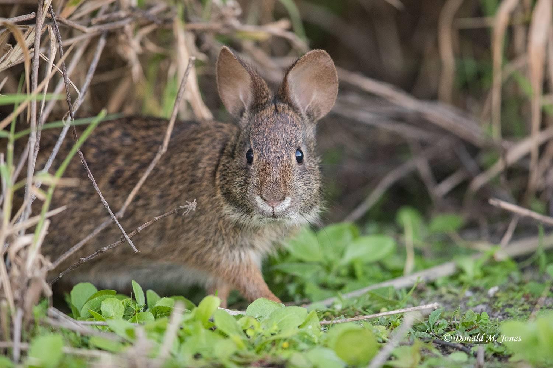Marsh-Rabbit0159D