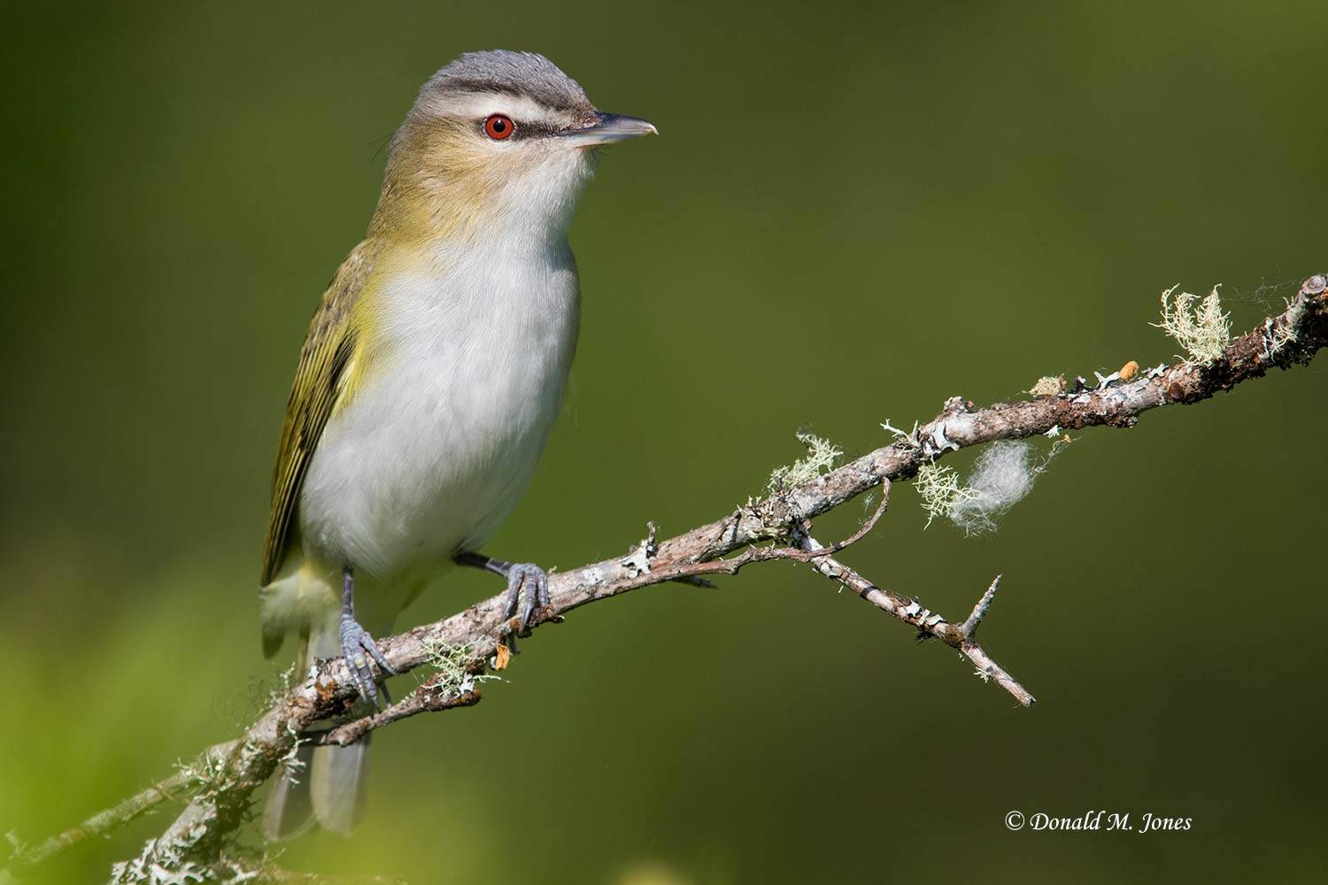 Red-eyed-Vireo0124D