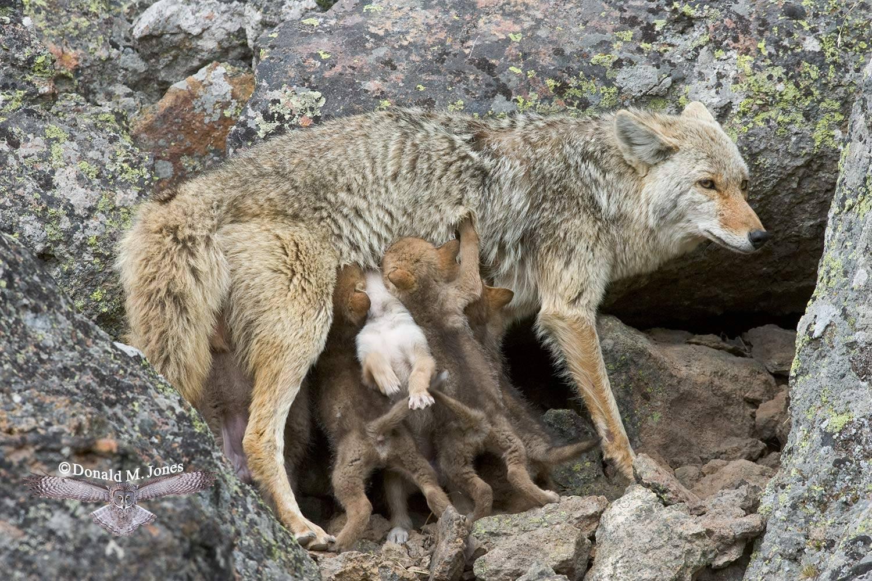 Coyote1688D