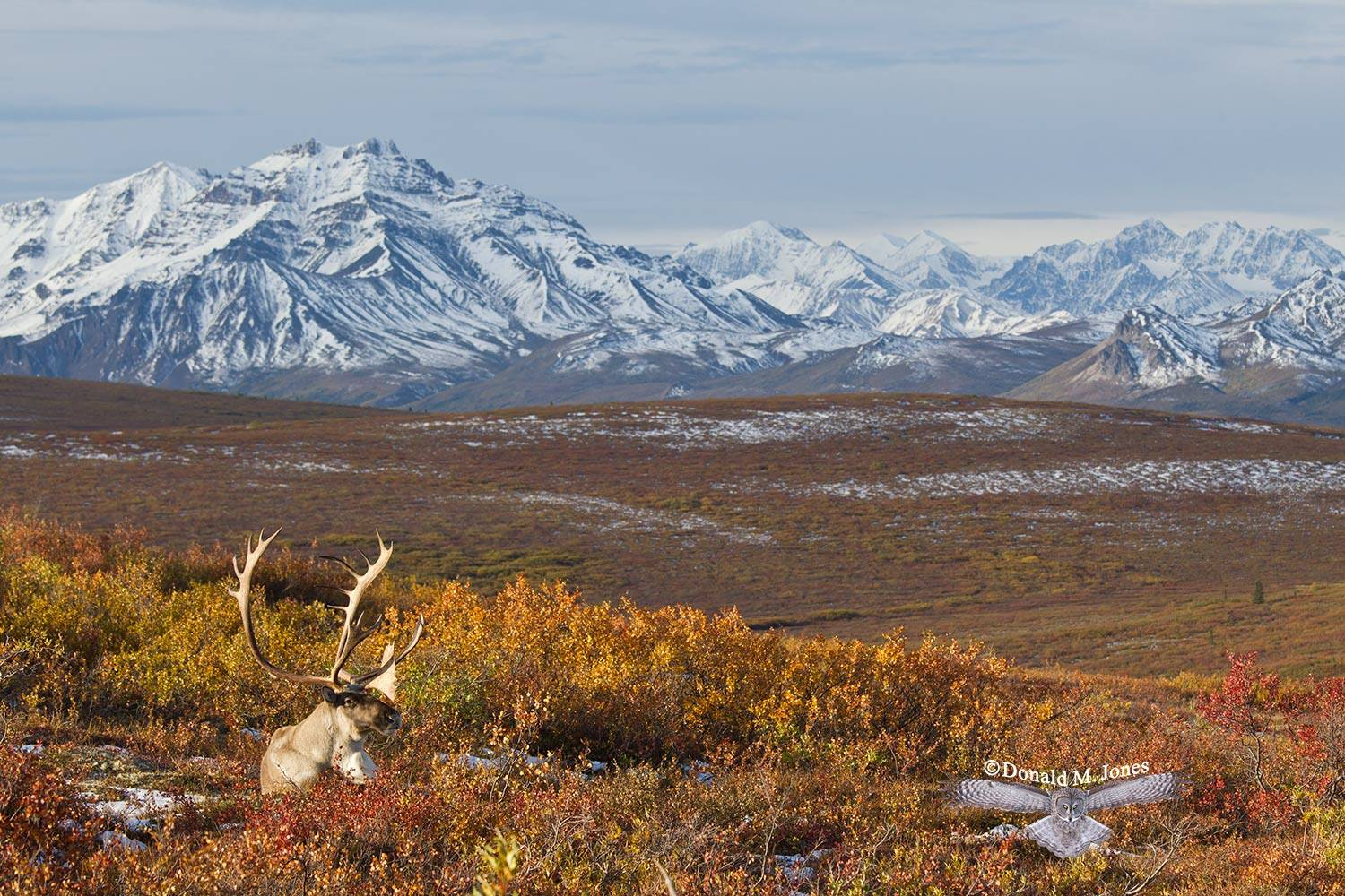 Barren-Ground-Caribou03852D