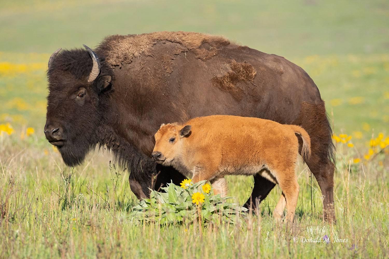 American-Bison02750D