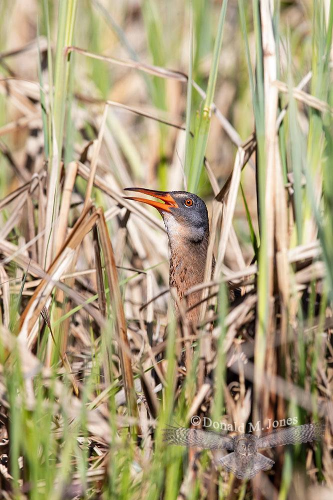 May 6 Virginia Rail calling from cattails