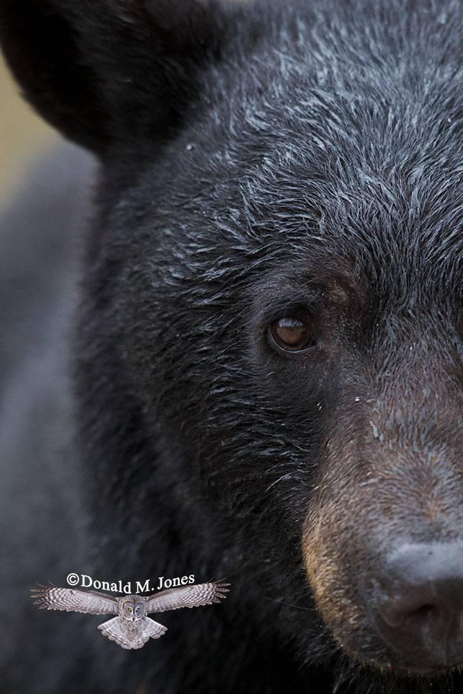 Black-Bear04942D