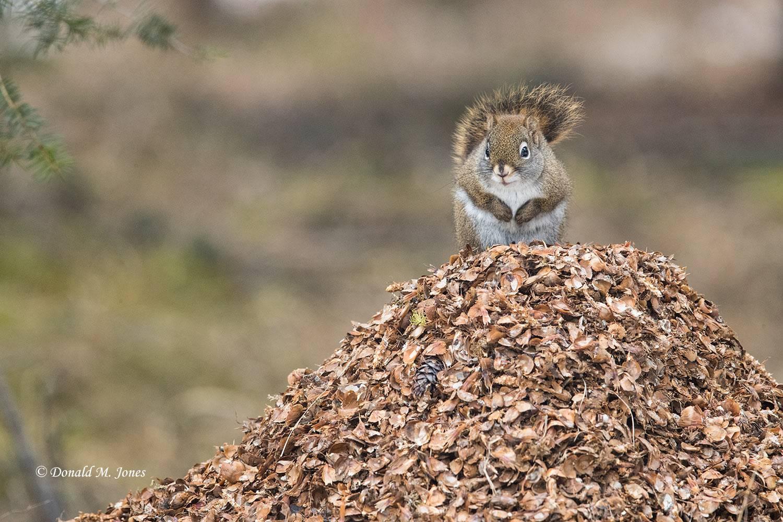 Pine-Squirrel0160D
