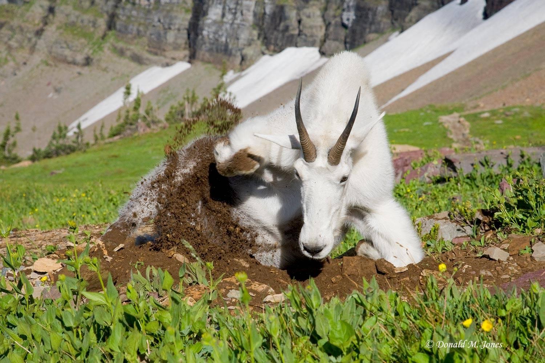 Mountain-Goat02045D