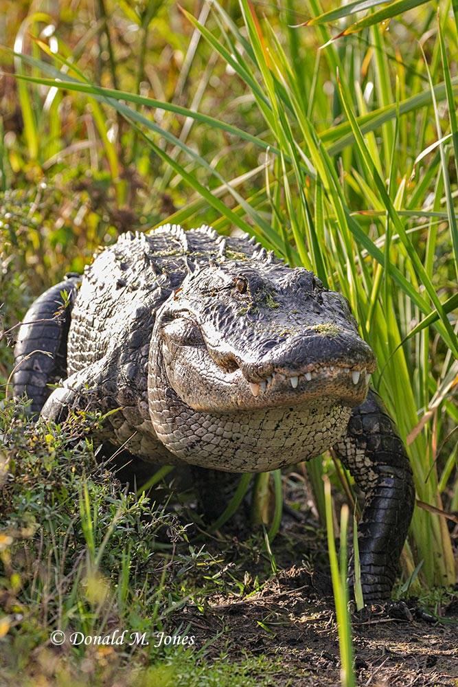 American-Alligator0357D