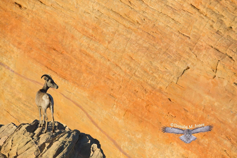 Desert-Bighorn-Sheep00352D