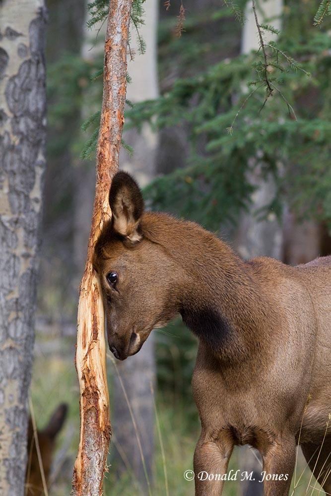 Elk-(Rocky-Mtn)17605D