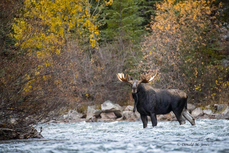 Moose05619D