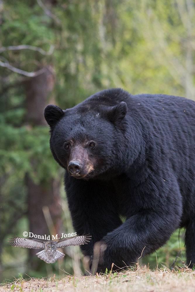 Black-Bear06230D