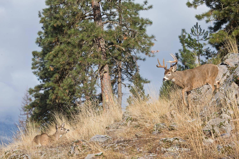 Whitetail-Deer50050D