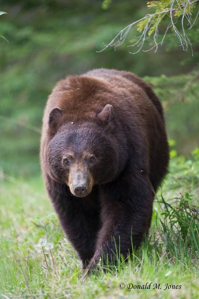Black-Bear07189D