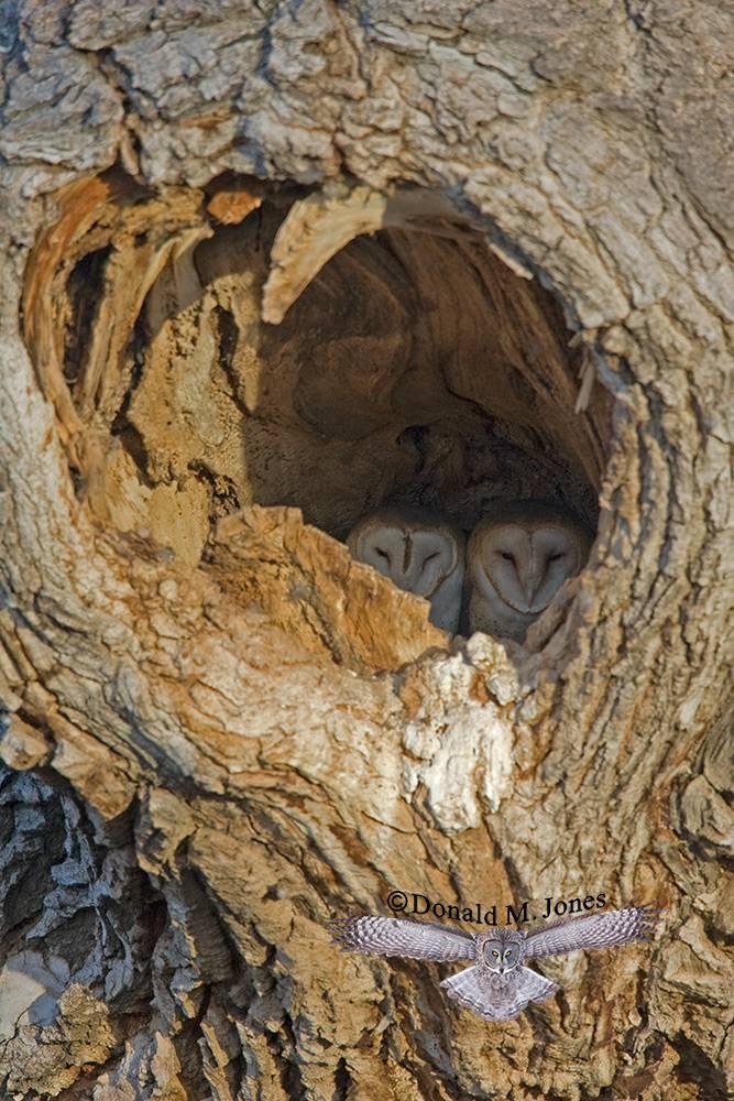 Barn-Owl0001D