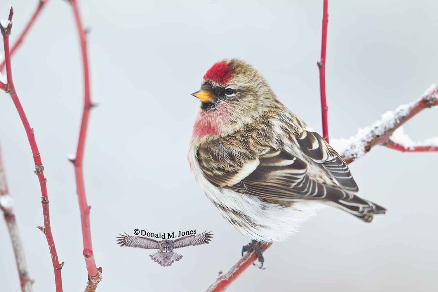 Common-Redpoll0394D