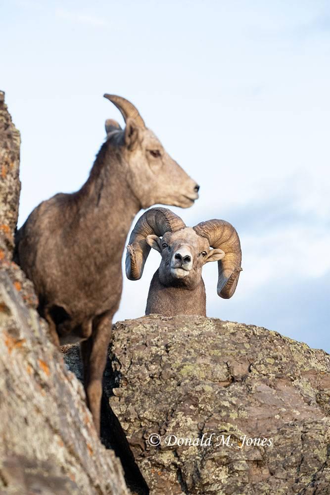 Bighorn-Sheep06450D