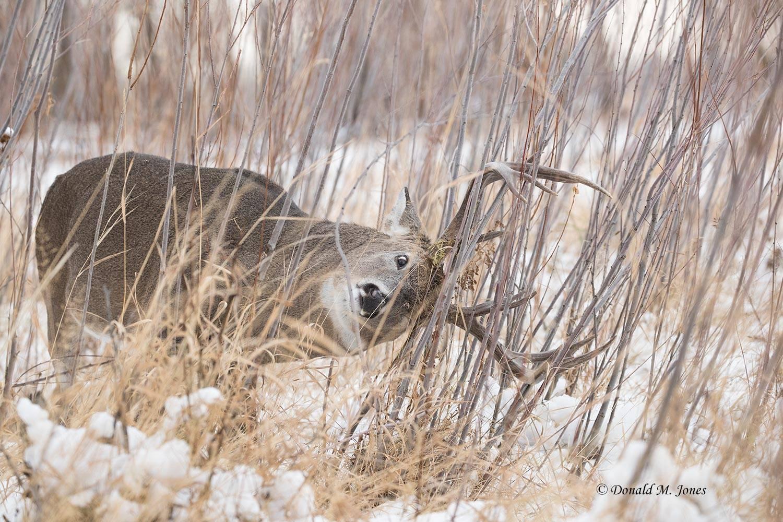 Whitetail-Deer55862D