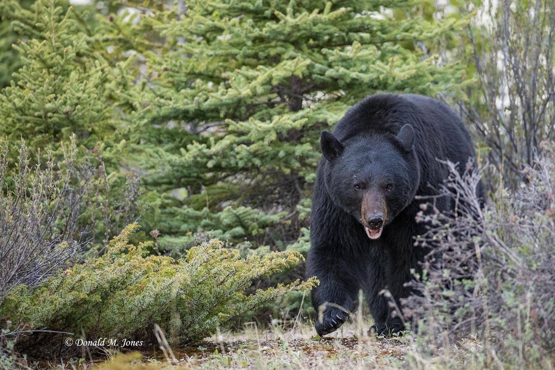 Black-Bear07923D