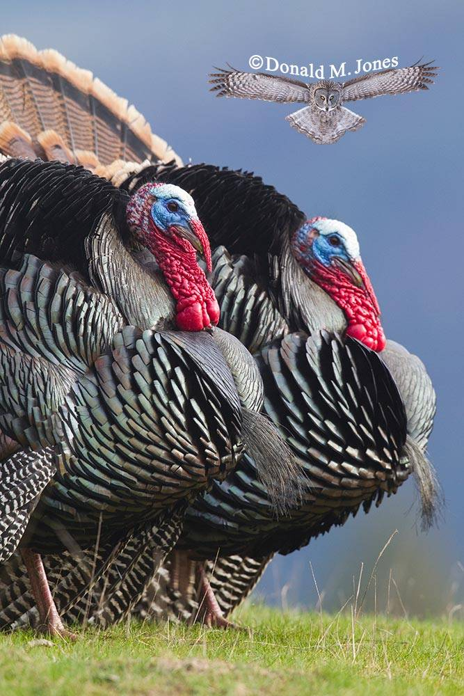 Wild-Turkey-(Merriams)08933D