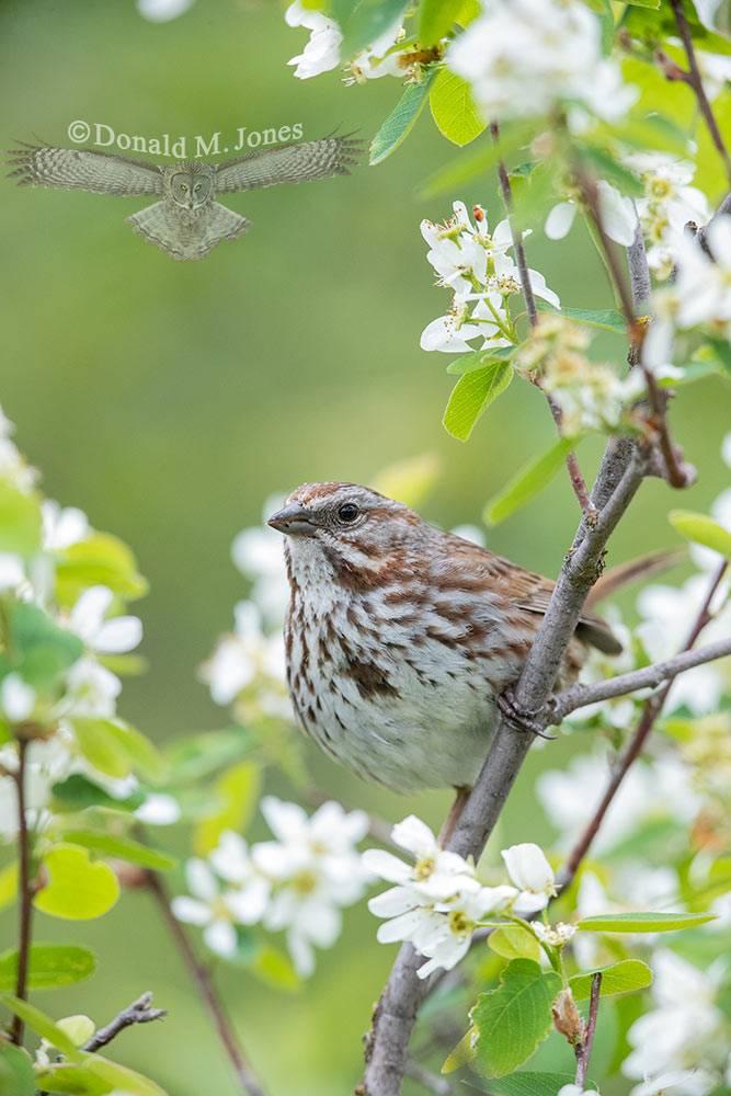 May 18 Song Sparrow.