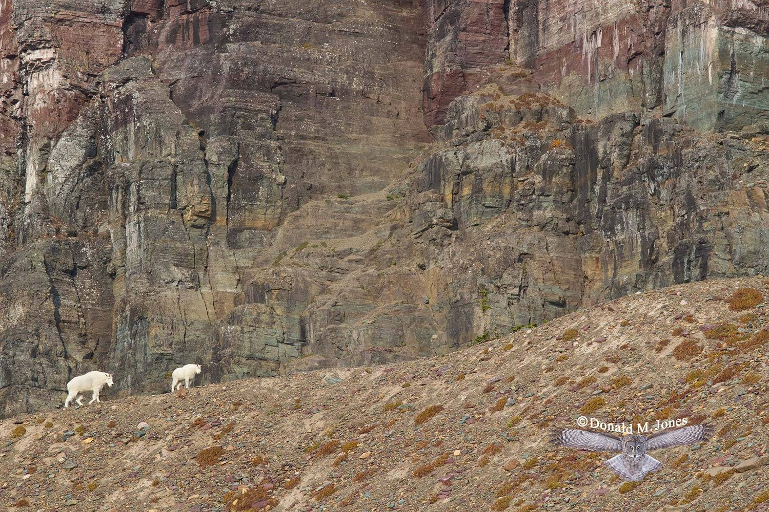 Mountain-Goat02325D