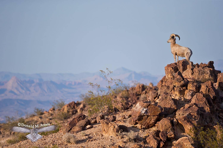 Desert-Bighorn-Sheep00465D