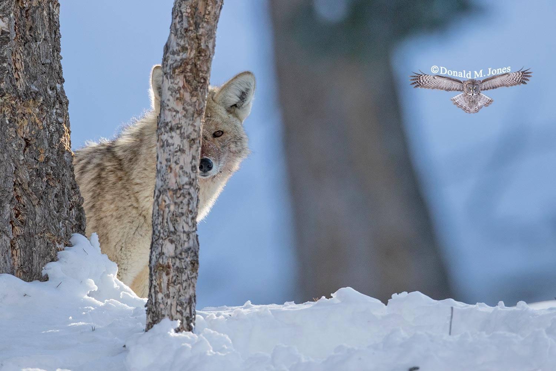 Coyote2829D