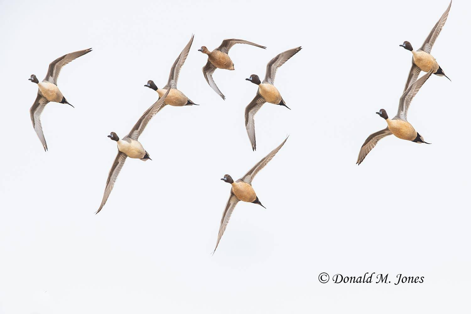 Northern-Pintail2643D
