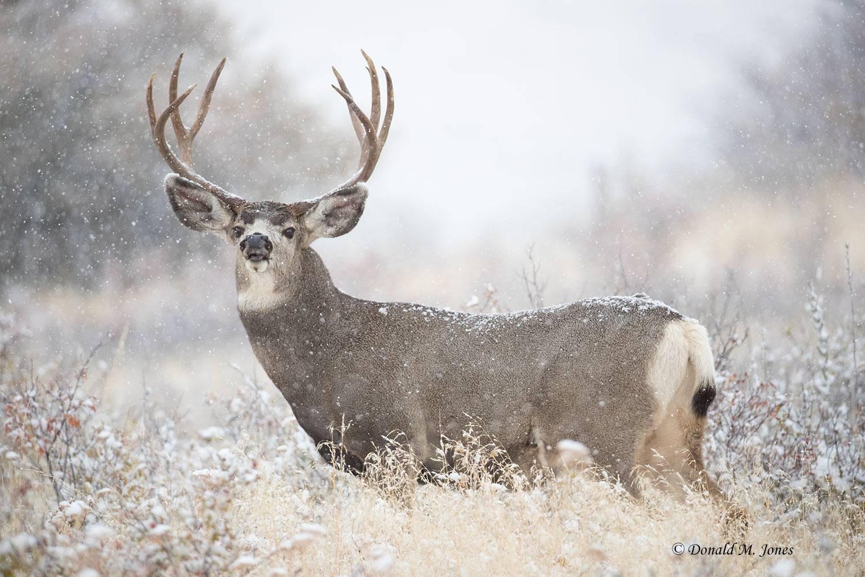 Mule-Deer10342D