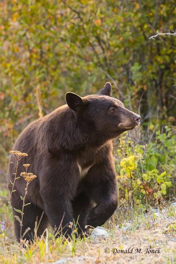 Black-Bear08148D