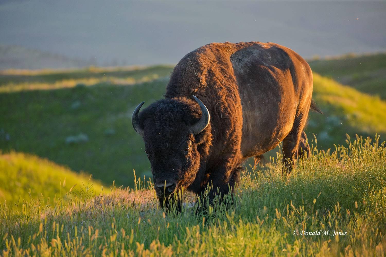 American-Bison2538D