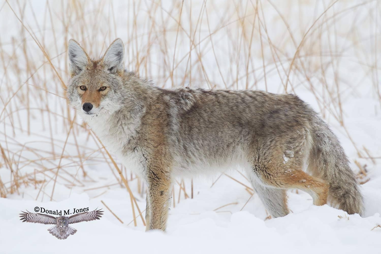 Coyote02170D