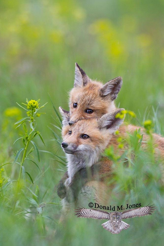 Red-Fox0823D