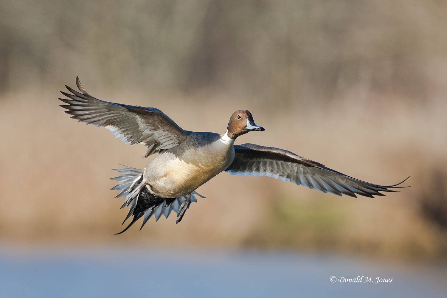 Northern-Pintail1871D
